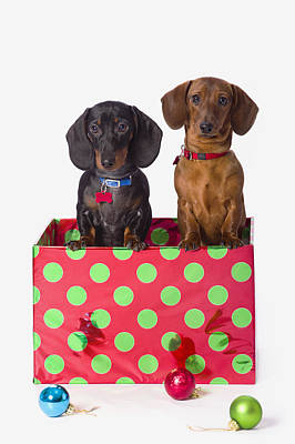 Two Dachshund Puppies Inside A Polka Poster by Corey Hochachka