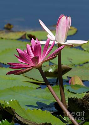 Two Graceful Water Lilies Poster by Sabrina L Ryan
