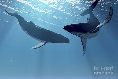 Two Humpback Whales Frolic In The Rays Poster by Corey Ford