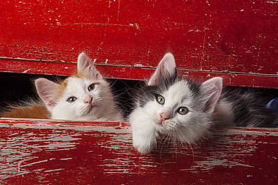 Two Kittens In Red Drawer Poster by Garry Gay