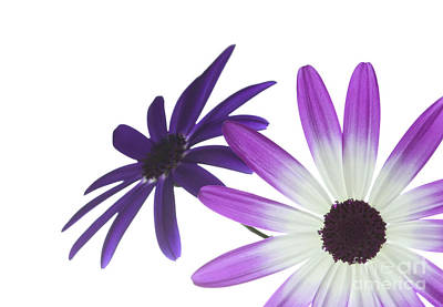 Two Senetti's Poster by Richard Thomas