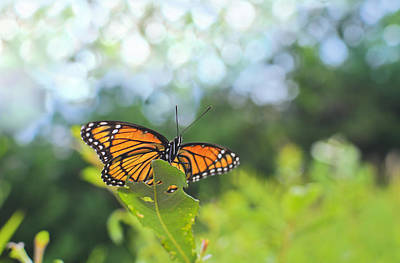 Viceroy Butterfly Limenitis Archippus  Poster by Marianne Campolongo