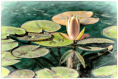 Water Lily Bud Poster by Jak of Arts Photography
