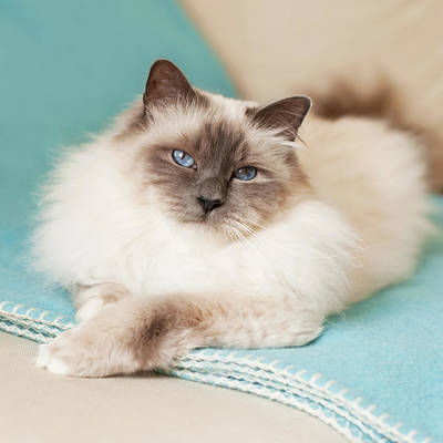 White Cat On Blue Blanket Poster by MariaR