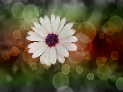 White Daisy In A Sunset Poster by Marianna Mills
