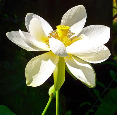 White Lotus Poster by Bryn Berg
