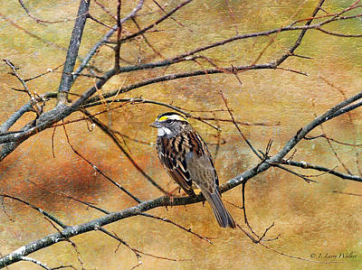 White-throated Sparrow Tweeting Poster by J Larry Walker