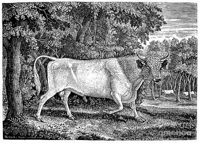 Wild Cattle Poster by Granger
