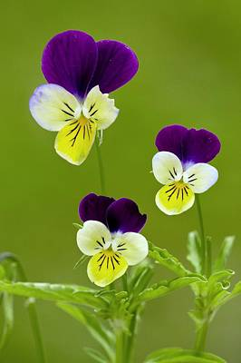 Wild Pansy (viola Tricolor) Poster by Bob Gibbons