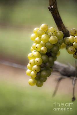 Wine Grapes Poster by Leslie Leda