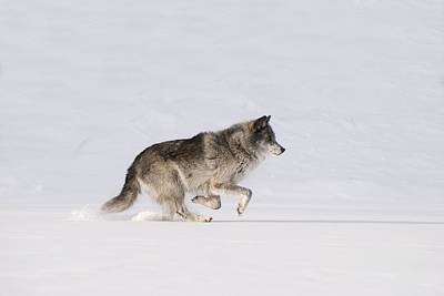 Wolf Running In The Snow Poster by Philippe Widling