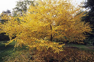 Yellow Birch (betula Alleghaniensis) Poster by Adrian Thomas