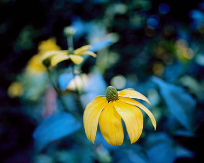 Yellow Cone Flower On Blue Background Poster by Marcio Faustino