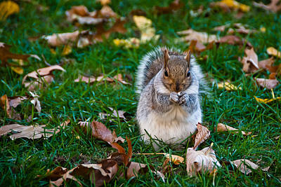 Squirrel Eating Nut On Colorful Green Grass And Brown Leaves Poster by Aaron Sheinbein