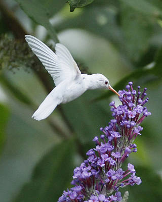 Bush Poster featuring the photograph Albino Ruby-throated Hummingbird by Kevin Shank Family