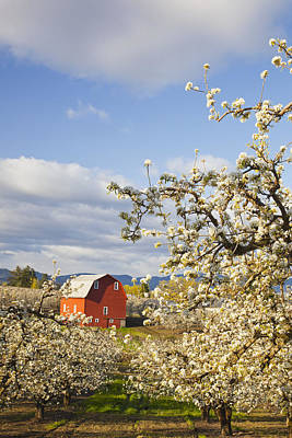 Apple Blossom Trees And A Red Barn In Poster by Craig Tuttle