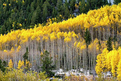Aspen Trees In Fall Color Poster by Teri Virbickis