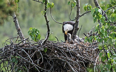 Bald Eagle And Chick Poster by Rocky Grimes