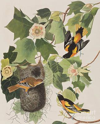 Baltimore Oriole Poster by John James Audubon