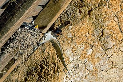 Barn Swallow Hirundo Rustica Poster by Gerard Lacz