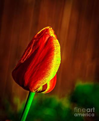 Bicolor Tulip Poster by Robert Bales
