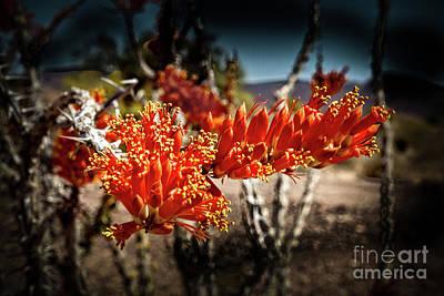 Blooming Ocotillo Poster by Robert Bales