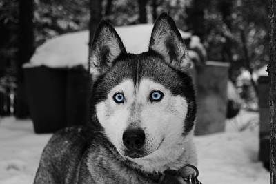 Blue Eyed Husky Poster by Mountain Dreams