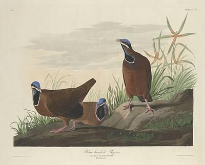 Blue-headed Pigeon Poster by John James Audubon