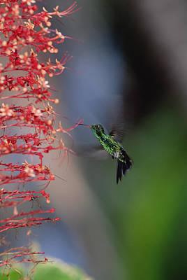 Blue-tailed Hummingbird Amazilia Poster by Konrad Wothe