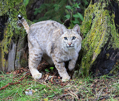 Bobcat Poster by Louise Heusinkveld