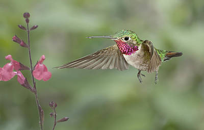Broadtail Hummingbird And Salvia Poster by Gregory Scott