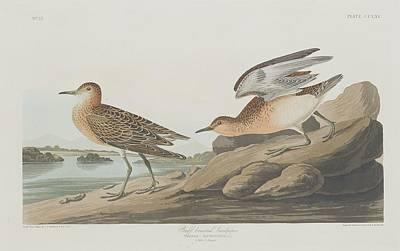 Buff-breasted Sandpiper Poster by John James Audubon