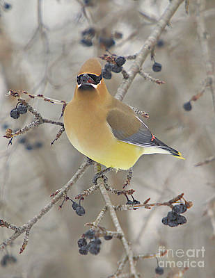 Cedar Wax Wing Poster by Robert Pearson