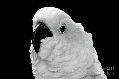 Close-up Crested Cockatoo Alba, Umbrella, Indonesia, Isolated On Black Background Poster by Sergey Taran