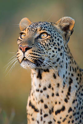 Close-up Of Leopard Panthera Pardus Poster by Panoramic Images