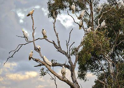 Cockatoos - Canberra - Australia Poster by Steven Ralser