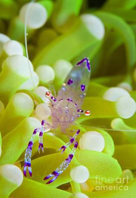 Commensal Shrimp On Green Anemone Poster by Steve Jones