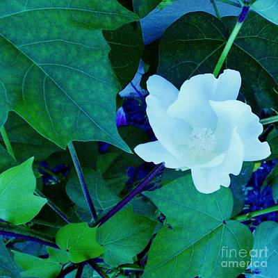 Cotton Blossom Poster by Eloise Schneider