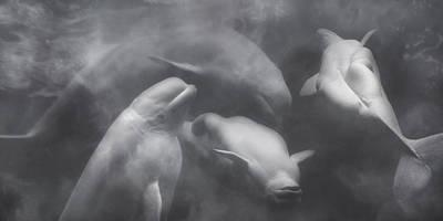 Dancing Belugas  Poster by Betsy Knapp