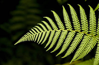 Detail Of Asian Rain Forest Ferns Poster by Tim Laman