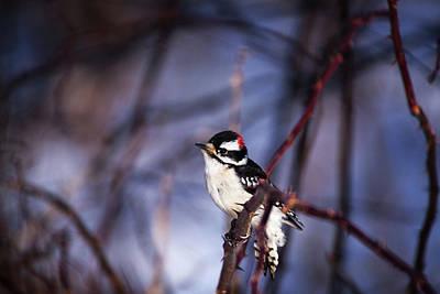 Downy Woodpecker Poster by Karol Livote