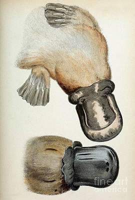Duck-billed Platypus O. Anatinus Poster by Biodiversity Heritage Library