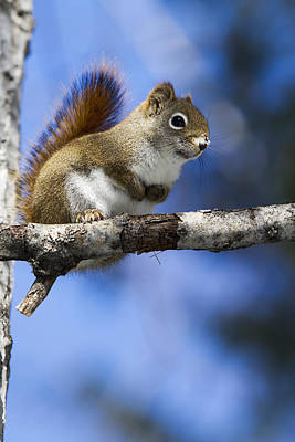 Eastern Grey Squirrel  Sciurus Poster by Philippe Henry