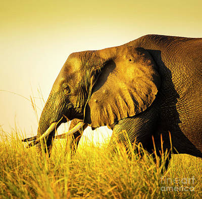 Elephant In Long Grass Poster by Tim Hester