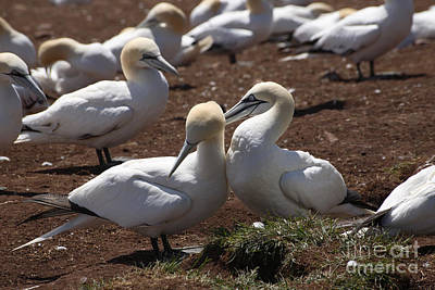Gannets Nape-biting Poster by Ted Kinsman