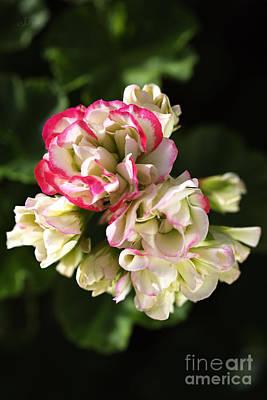 Geranium Flowers Poster by Joy Watson