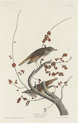 Hermit Thrush Poster by John James Audubon