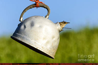 House Wren In Tea Kettle Home Poster by Thomas R Fletcher