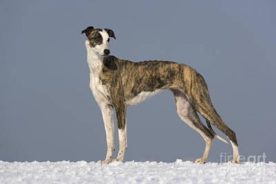 Hungarian Greyhound Poster by Jean-Louis Klein & Marie-Luce Hubert