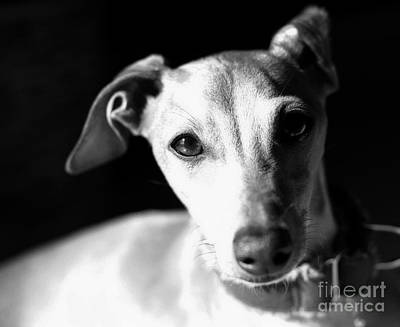 Italian Greyhound Portrait In Black And White Poster by Angela Rath